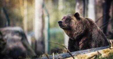 Хранят мечки с дрон